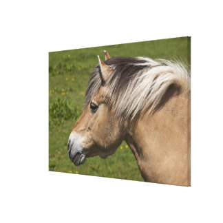 Norwegian Fjord Horse Canvas Print