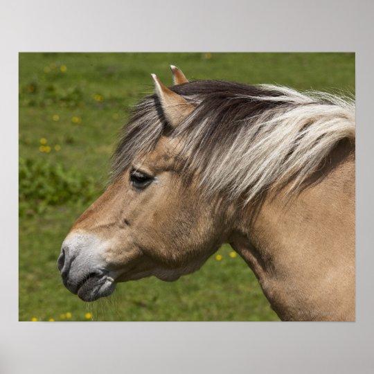 Norwegian Fjord Horse Poster