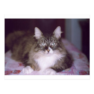 norwegian forest cat brown tabby laying postcard