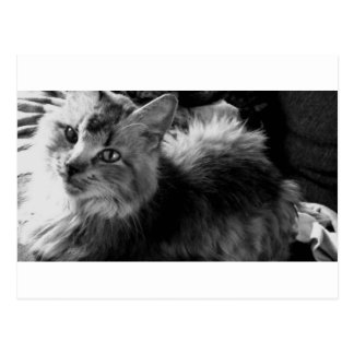 norwegian forest cat bw pic postcard