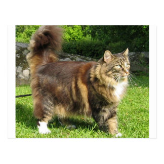 norwegian forest cat full.png postcard