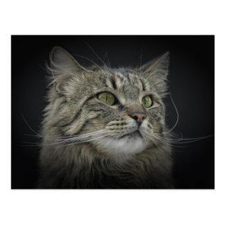 Norwegian Forest cat portrait Postcard