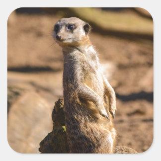 nosey meerkat square sticker