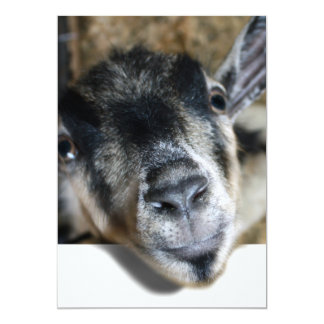 Nosy Goat Looking Out Announcements