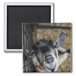 Nosy Goat Looking Up 2 Inch Square Magnet