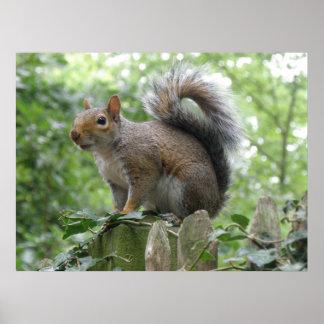 Nosy Gray Squirrel Poster
