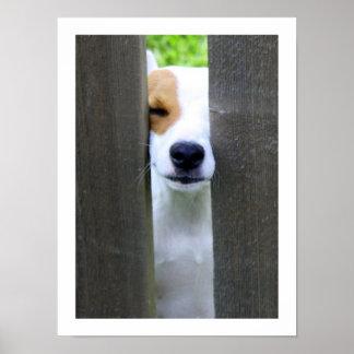 Nosy Neighbor - Jack Russell Terrier Poster