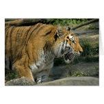Notas abiertas de la boca del tigre tarjeta