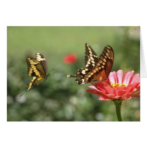 Note Card with Swallowtail Butterflies