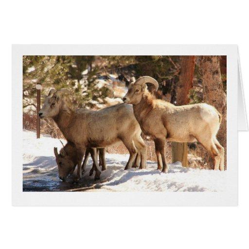Notecard de las ovejas de Bighorn Felicitación