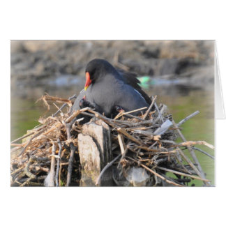 Notecard: Moorhen and Chick Card