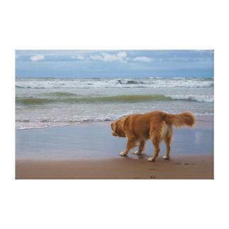 Nova Scotia Duck Tolling Retriever Ocean Cautious Stretched Canvas Print