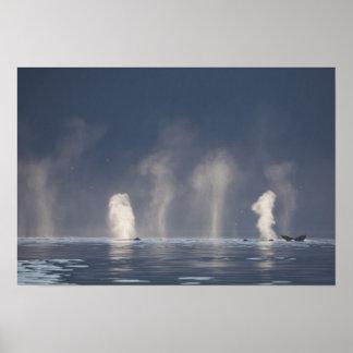 Novaeangliae del Megaptera de las ballenas jorobad Póster