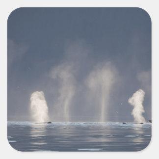 Novaeangliae del Megaptera de las ballenas Pegatina Cuadrada