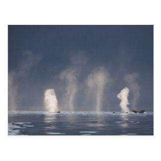Novaeangliae del Megaptera de las ballenas Postal