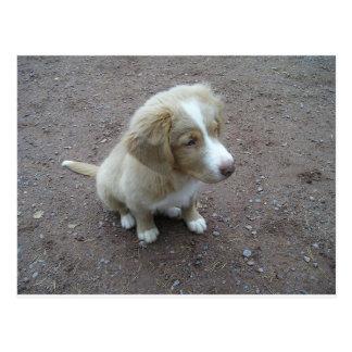 NovaScotiaDuckTollingRetriever pup sitting Postcard