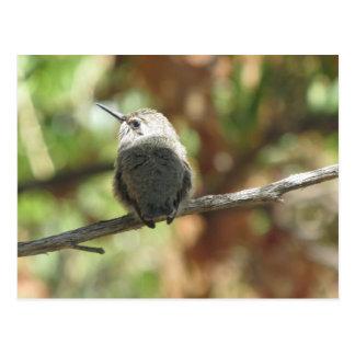 Novato del colibrí tarjeta postal