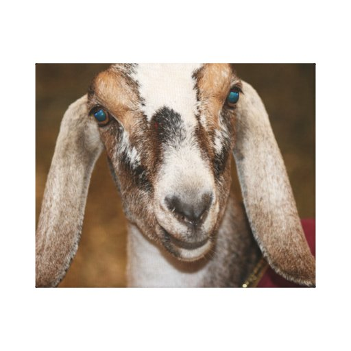 Nubian Dairy Goat Doe White Stripe Caprine Gallery Wrapped Canvas