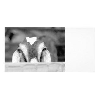 Nubian doe bw peeking over wooden rail jpg custom photo card