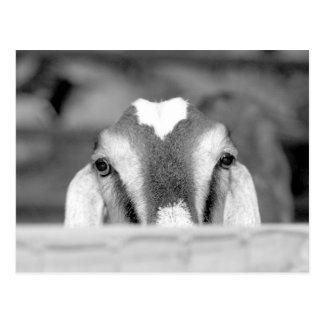 Nubian doe bw peeking over wooden rail.jpg postcard