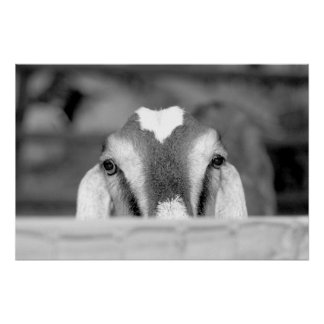 Nubian doe bw peeking over wooden rail.jpg poster