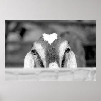 Nubian doe bw peeking over wooden rail.jpg posters