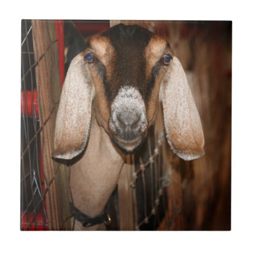 Nubian doe head on getting out of gate ceramic tiles