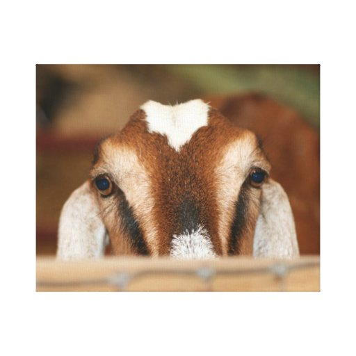 Nubian doe peeking over wooden rail canvas print