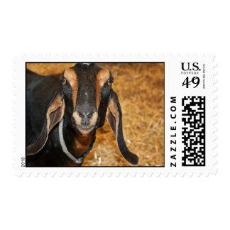 Nubian Goat on Farm field Postage