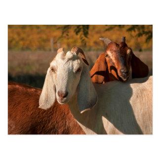 Nubian goats postcard
