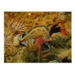 Nudibranch Cartão Postal