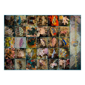 Nudibranchs of Puerto Galera Poster (28x20)