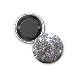 Nueces de la goma negra con sus ramas imán de nevera
