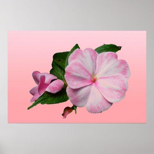 Nueva Guinea poster rosado y blanco de Impatiens