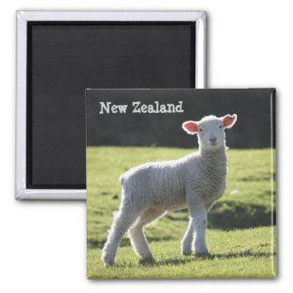 Nueva Zelanda - cordero adorable que le mira Imán Cuadrado