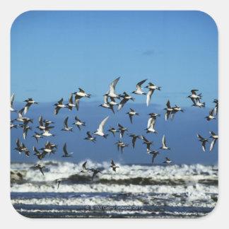 Nueva Zelanda, isla del sur, gaviotas que vuelan Calcomanias Cuadradas