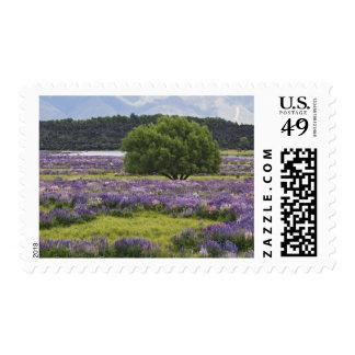 Nueva Zelanda, isla del sur. Lupine floreciente y Sellos Postales