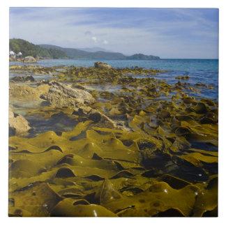 Nueva Zelanda, Southland, isla de Stewart. Quelpo Azulejo Cuadrado Grande