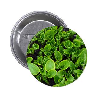 Nuevas plantas verdes del hosta en jardín pin redondo 5 cm