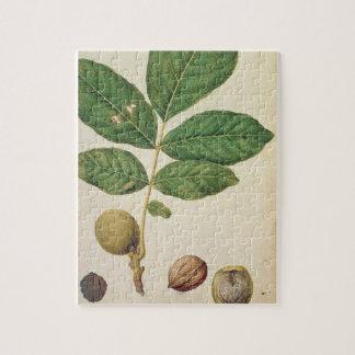 Nuez, c.1568 (w/c en el papel) puzzles