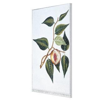 Nuez moscada moscada, placa 7, de la 'colección Pr Lienzo Envuelto Para Galerias