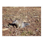 Numbat Sitting On Soil In The Sun Post Card