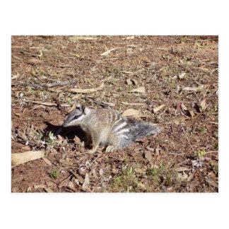 Numbat Sitting On Soil In The Sun Postcard