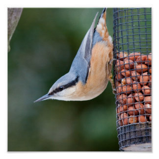 Nuthatch on  Feeder Poster