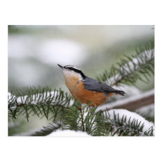 Nuthatch on Snowy Branch in Winter Postcard