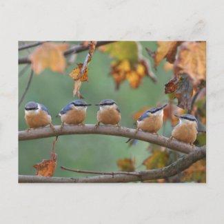 Nuthatch postcard postcard