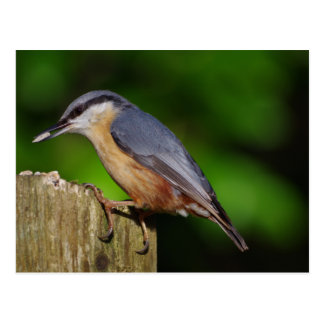 Nuthatch Postcard
