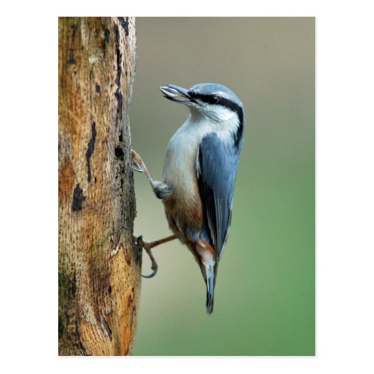 Nuthatch with sunflower seed postcard
