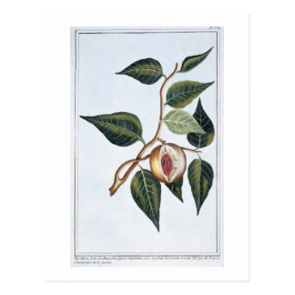 Nutmeg, plate 7, from 'Collection Precieuse et Enl Postcard