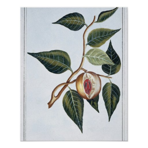 Nutmeg, plate 7, from 'Collection Precieuse et Enl Poster